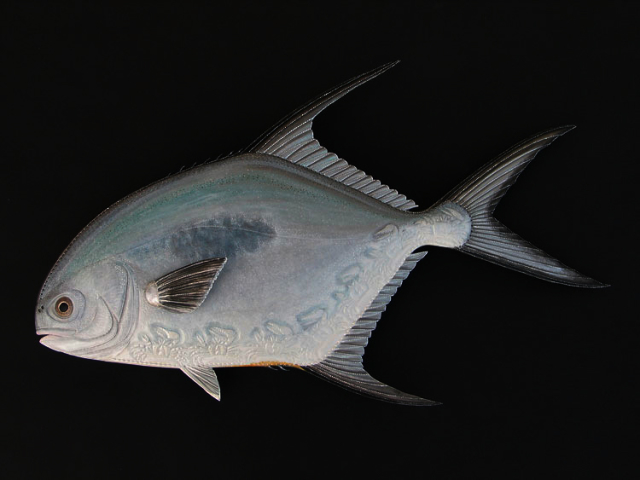 Permit Sculptures hand tooled by Lance Marshall Boen. This unique fish art is inspired by Lance's passion for fly fishing. His works of art vary from larger than life leather fish sculptures to an Eagle made from vintage baseball gloves with a wingspan of nearly 12 feet.